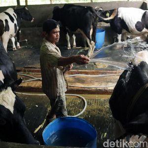 Serap Susu Lokal, 128 Pengusaha Gandeng Peternak Sapi Perah