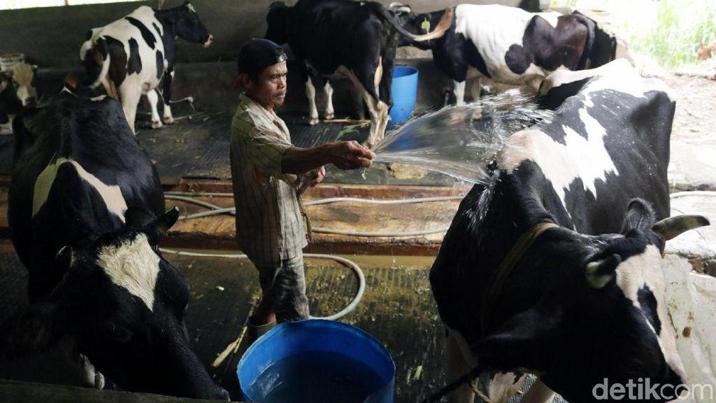 Diancam Trump, RI Tak Wajibkan Industri Serap Susu Lokal