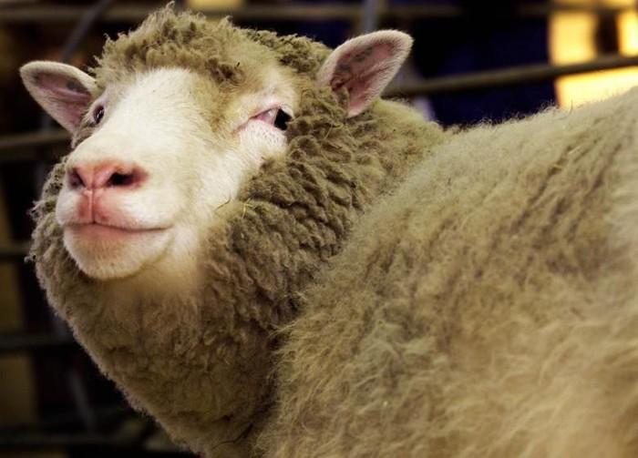 Domba bernama Dolly ini adalah hewan mamalia pertama yang berhasil dikloning oleh peneliti di tahun 1996 dan membuat dunia heboh. (Foto: Reuters)