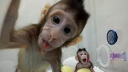 Lewat teknik rekayasa genetika peneliti berhasil mengkloning hewan primata non-manusia pertama, monyet rhesus. Selain itu ada juga hewan lain yang dikloning.