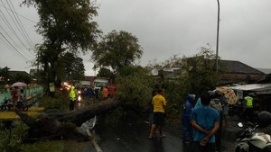 Pohon Asem di Mojokerto Tumbang, Lukai 2 Pengendara Motor