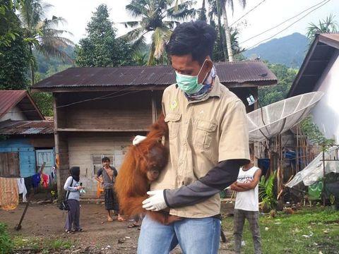 Seekor orang utan dievakuasi dari rumah warga di Aceh