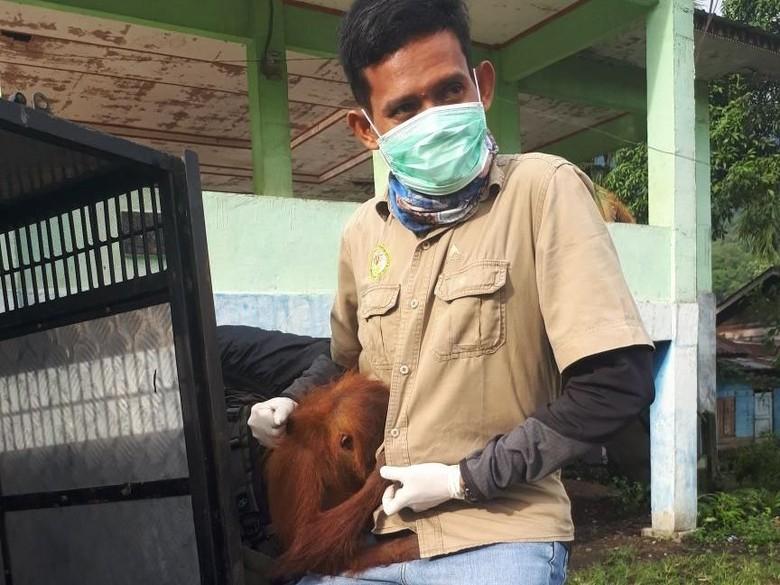 Stres, 1 Orang Utan di Aceh Dievakuasi ke Pusat Rehabilitasi