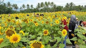 Spot Selfie Taman Bunga Matahari Ini Ada di Magelang