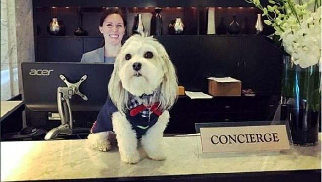 Gemas! Anjing Ini Siap Menemani Tamu Hotel yang Kesepian