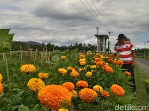 Petani di Jember Usir Hama dengan Tanam Bunga
