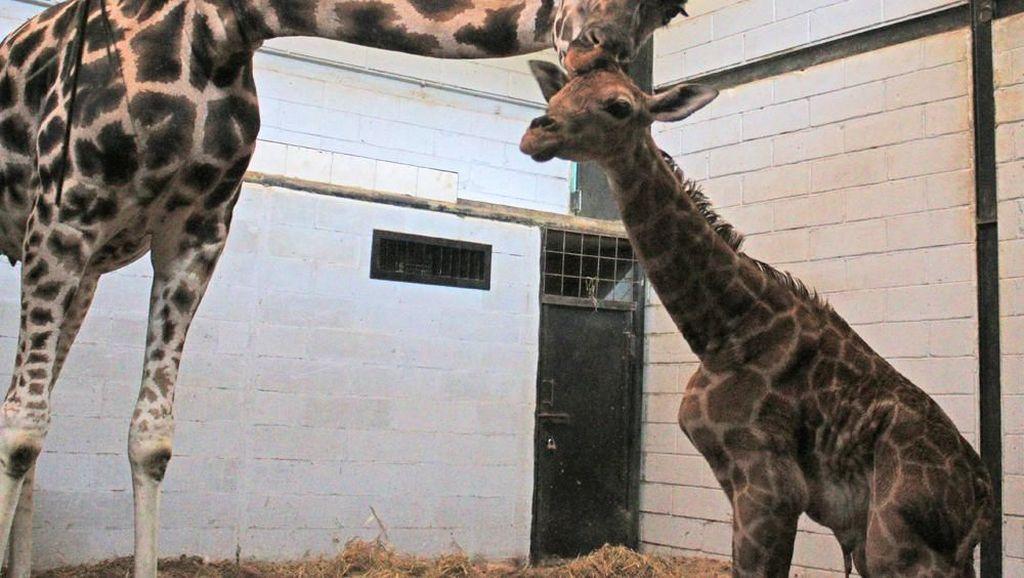 Hore! Emily Jerapah Betina di Taman Safari Lahirkan Seekor Pejantan