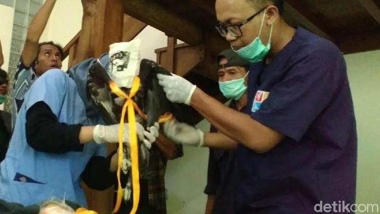Seekor Elang Brontok Akan Dilepas di Hutan di Gunungkidul