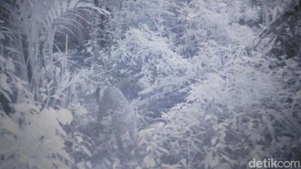 Macan tutul tertangkap kamera TNBTS/