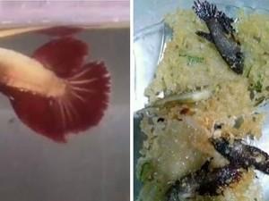 Netizen Heboh Lihat Video Istri Goreng Rempeyek Ikan Cupang Milik Suaminya