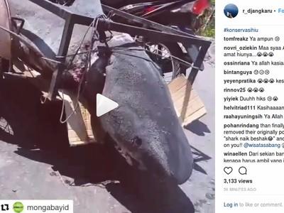 Viral Video Hiu Diangkut, Panglima Laot: Mungkin Bukan Jenis Dilindungi