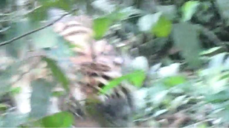 Saat Bertemu Harimau Pemangsa Jumiati, Tim Terpaku Bagai Batu