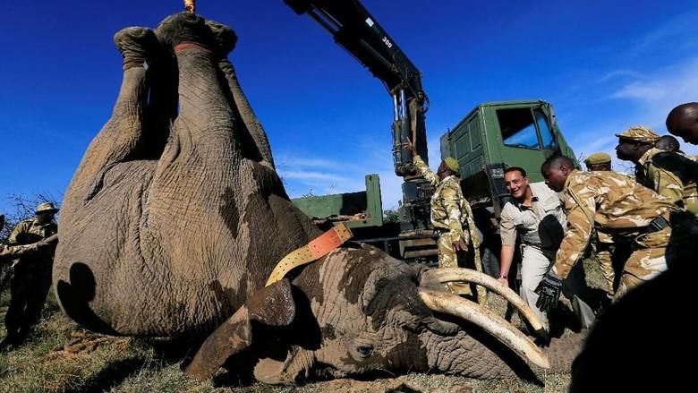 Kala Gajah Diangkut dengan Crane dan Dikawal Ranger Bersenjata