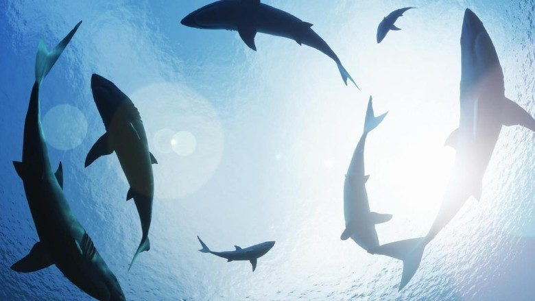 Ilustrasi hiu (Thinkstock)