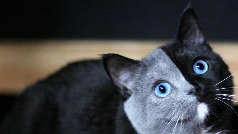 Foto: Lucunya Narnia, Kucing Bermuka Dua yang Jadi Sorotan