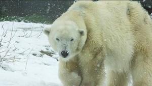 Tragis! Ayah Tewas Saat Lindungi Anaknya dari Terkaman Beruang Kutub