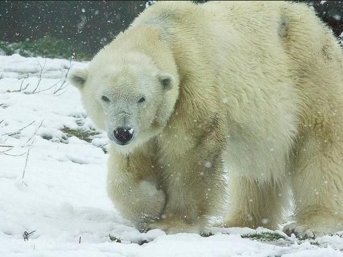 Memori Kenangan Beruang Tertua di AS Sebelum Akhirnya Disuntik Mati