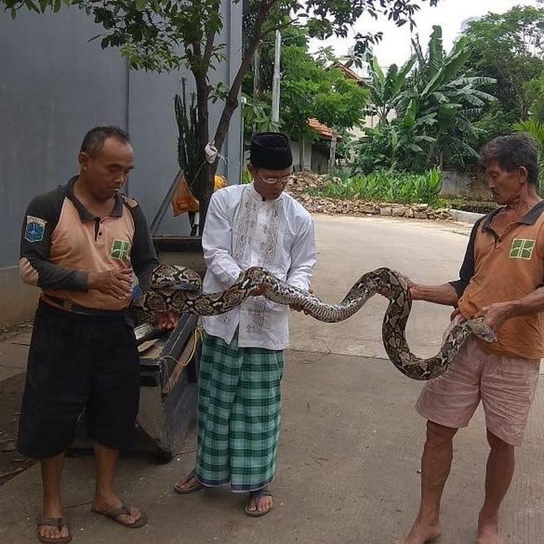 Penampakan Ular Sanca Kembang yang Muncul di Kali Mampang