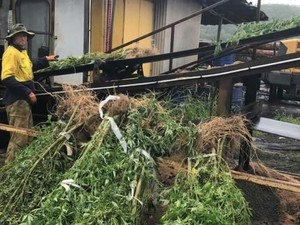 Polisi New South Wales, Australia Bakar Ganja Sitaan Senilai Rp 125 M