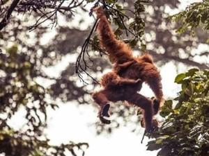 100.000 Orangutan Terbunuh di Kalimantan dalam 16 Tahun Terakhir