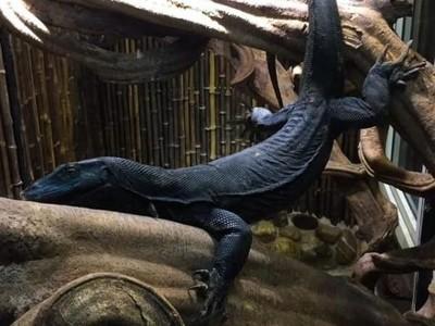 Foto: Black Dragon, Si Komodo Hitam yang Gahar