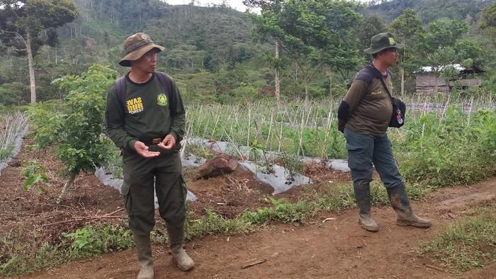 Lahan 6 Ribu Hektare Di Taman Nasional Kerinci Seblat Dirambah Warga