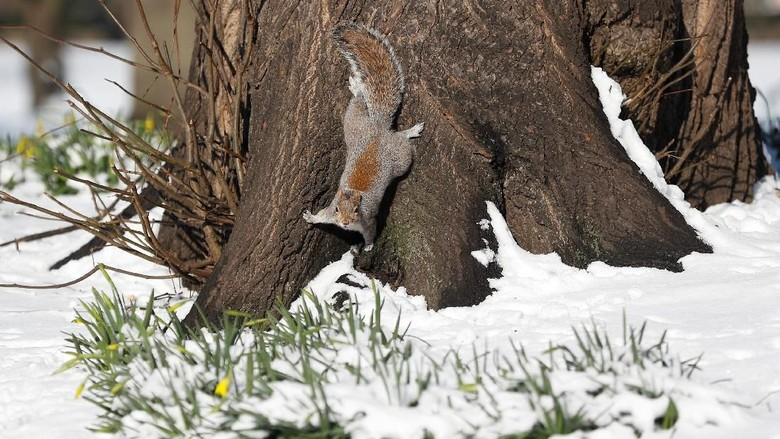 A squirrel forages in the snow in St James Park, London, Britain, February 28, 2018.