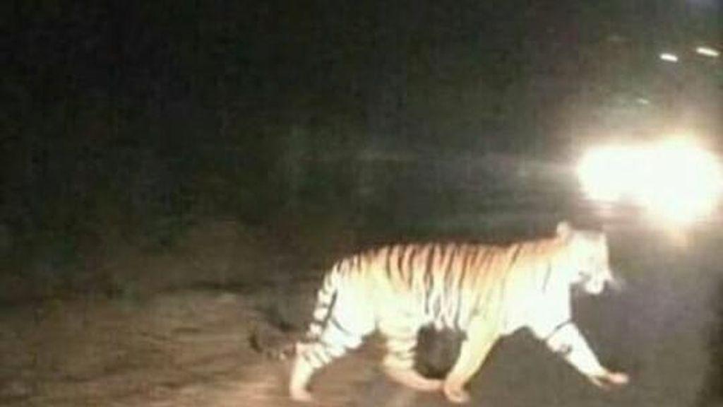 Hoax! Foto Harimau Jalan-jalan di Jalanan Jambi