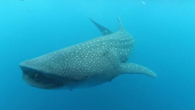 Hiu paus di Nabire, Teluk Cendrawasih