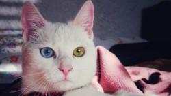 Heterochromia adalah jenis kelainan di mana iris mata berbeda warnanya. Biasanya kondisi ini dialami kucing dan anjing, bahkan manusia pun bisa mengalaminya.