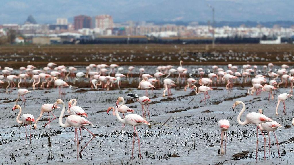 Potret Kawanan Flamingo Cari Makan di Spanyol