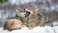 Trump Hapus Serigala Abu-abu dari Daftar Spesies Terancam Punah
