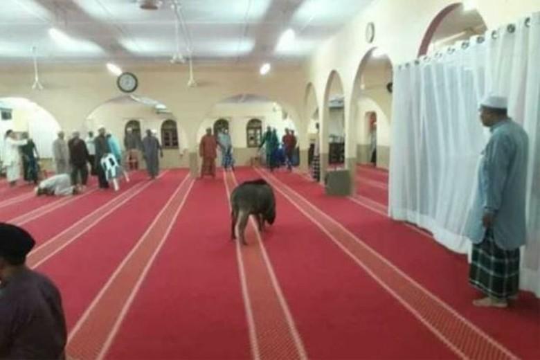 Masuk Masjid dan Lukai Jemaah, Babi Hutan Ditembak