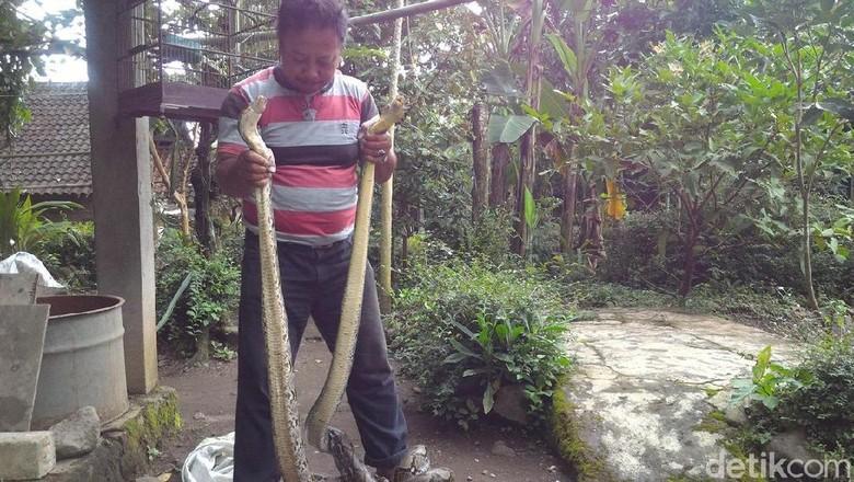 Penampakan 2 Ular Piton 3 Meter Pemakan Ternak di Boyolali