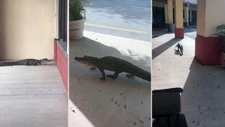 Aligator Kepergok Window Shopping di Pertokoan AS