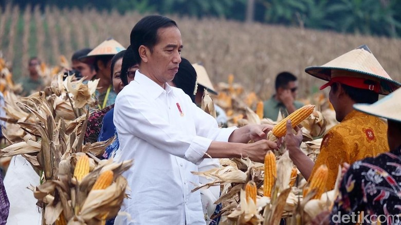 Panen Raya, Jokowi Blusukan Susuri Ladang Jagung di Tuban