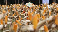 Izin Impor Terbit, 100.000 Ton Jagung Brasil dan Argentina Serbu RI