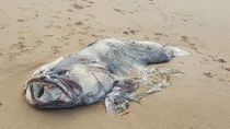 Ikan Kerapu Raksasa 2 Meter Tersapu di Pantai Queensland