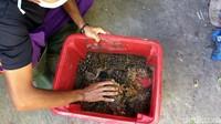Di Ciamis sendiri, sebagian warganya menggantungkan hidupnya di peternakan ayam dan peternakan ikan. Dengan Maggot ini tentunya dapat menjadi solusi bagi para peternak untuk meningkatkan produksi, maupun menekan biaya pengeluaran pakan buatan yang saat ini terus mengalami kenaikan.