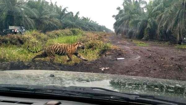 Harimau Bonita Ditembak Bius dari Jarak 15 Meter