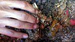 Telur Lalat Tentara Hitam Bermanfaat untuk Pakan Ternak Unggas dan Ikan