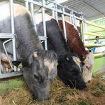 Sapi Belgian Blue Andalan Kementan Kejar Swasembada Daging Sapi 2026