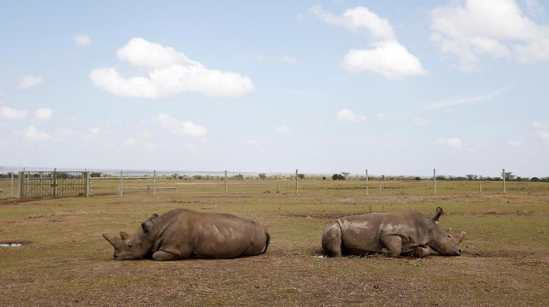 Najin, one of two last northern white rhino females, lies in her enclosure at the Ol Pejeta Conservancy in Laikipia National Park, Kenya March 7, 2018. REUTERS/Baz Ratner