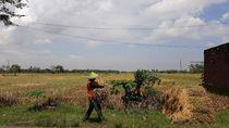 Tak Bisa Serap Gabah, Bulog Madiun Rela Petani Jual ke Tengkulak