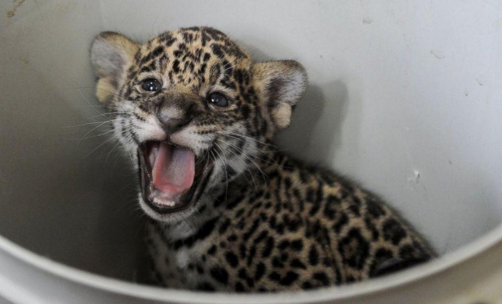 Bayi jaguar berusia satu bulan di Kebun Binatang Leningrad, St Petersburg, Rusia.