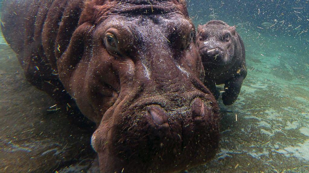 Cara Unik Induk Kuda Nil Ajarkan Anaknya Berenang