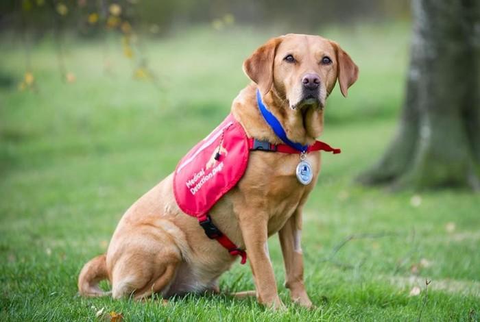 Daisy adalah labrador yang sudah menjadi Medical Detection Dogs sejak pertama organisasi ini didirikan.
