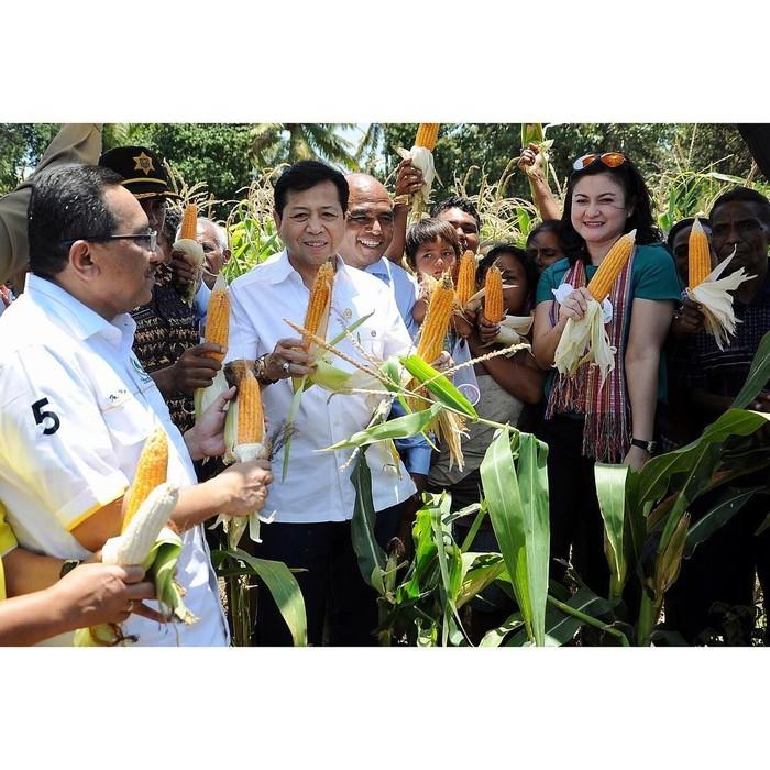Oktober 2017 lalu Setnov memperingati Hari Pangan Sedunia dengan panen jagung. Ia memamerkan jagung yang baru saja dipetik. Foto: Instagram @s.novanto