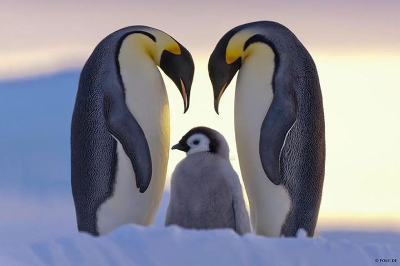 77 Gambar Hewan Pinguin Terbaru