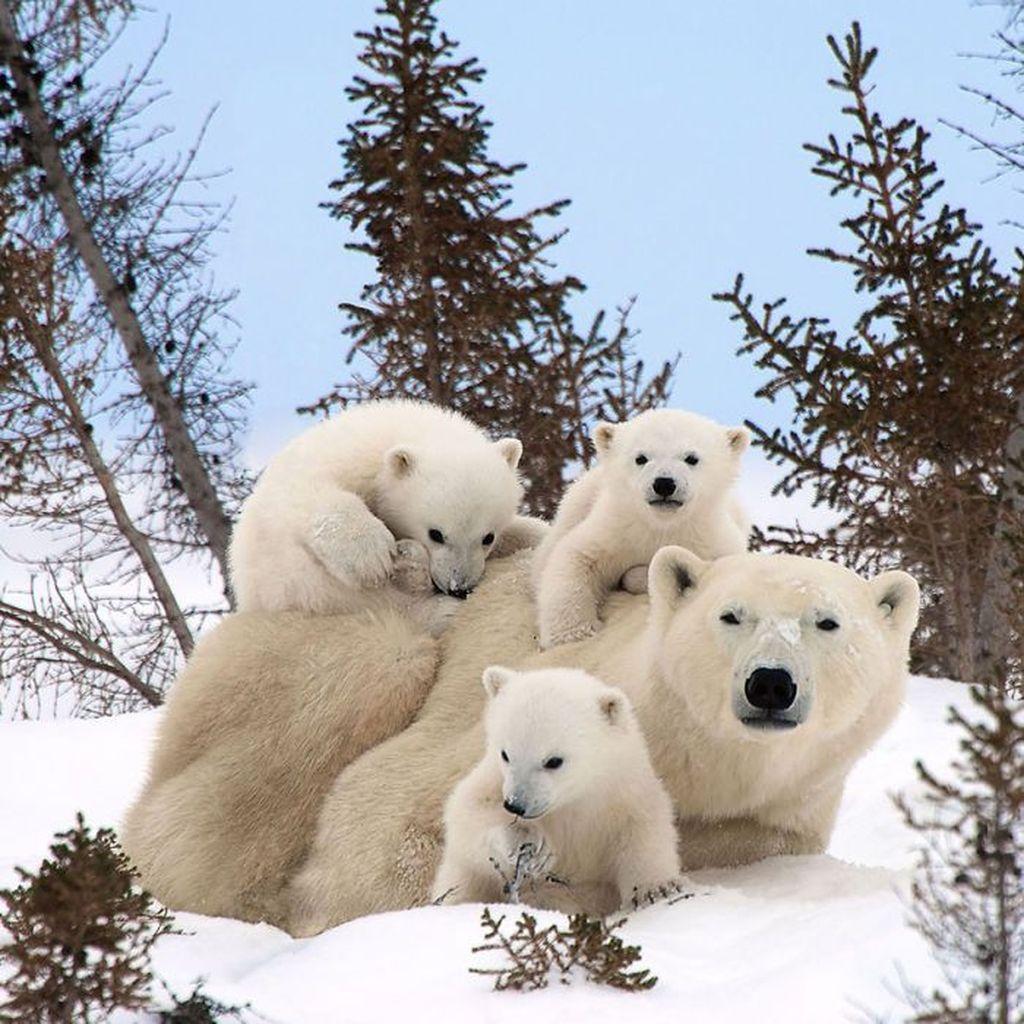 Keluarga beruang putih yang saling bercengkrama.Foto: Boredpanda